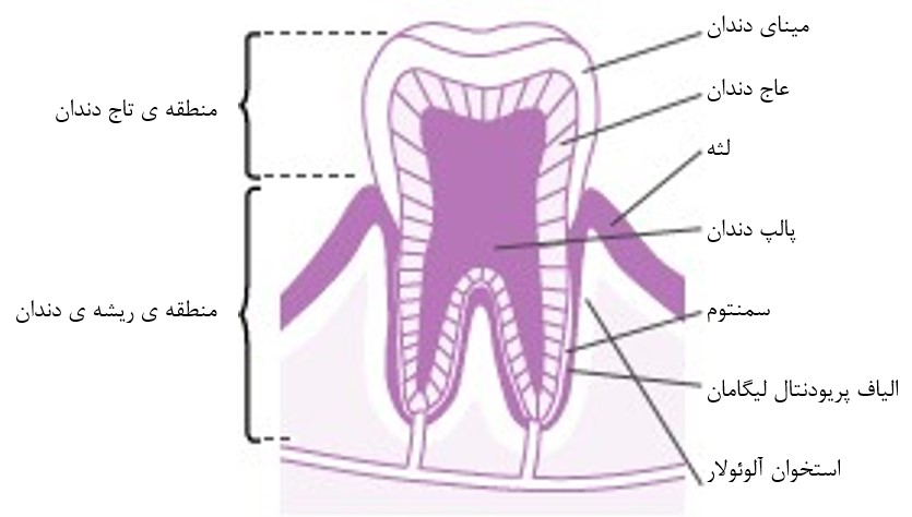 ساختار و انواع دندان انسان